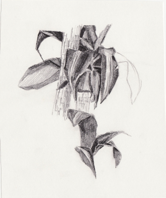 [pencil sketch from D. C. Smith Greenhouse circa 2004 - leaf study]