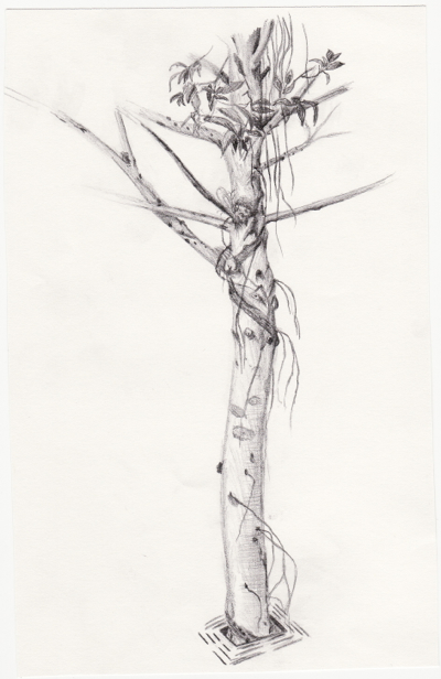 [pencil sketch from D. C. Smith Greenhouse circa 2004 - tree]